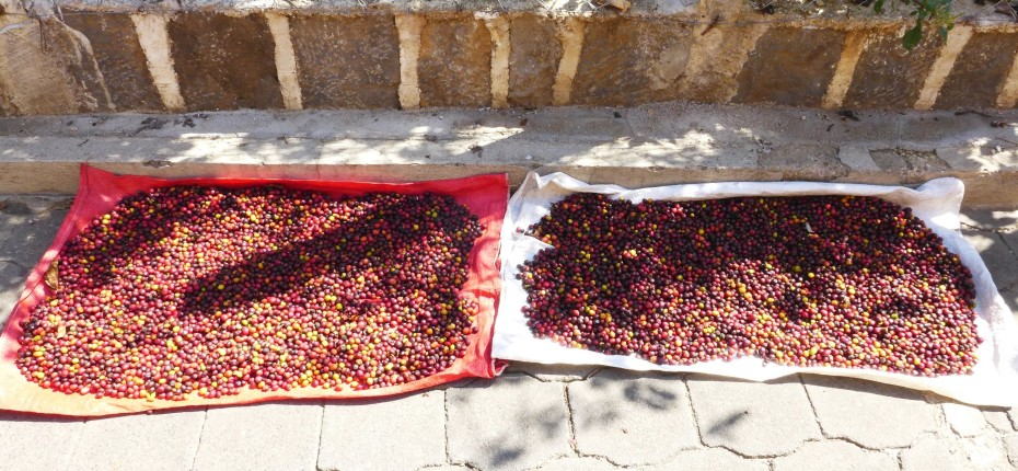local coffee harvested in the hills around the lake dries in the streets