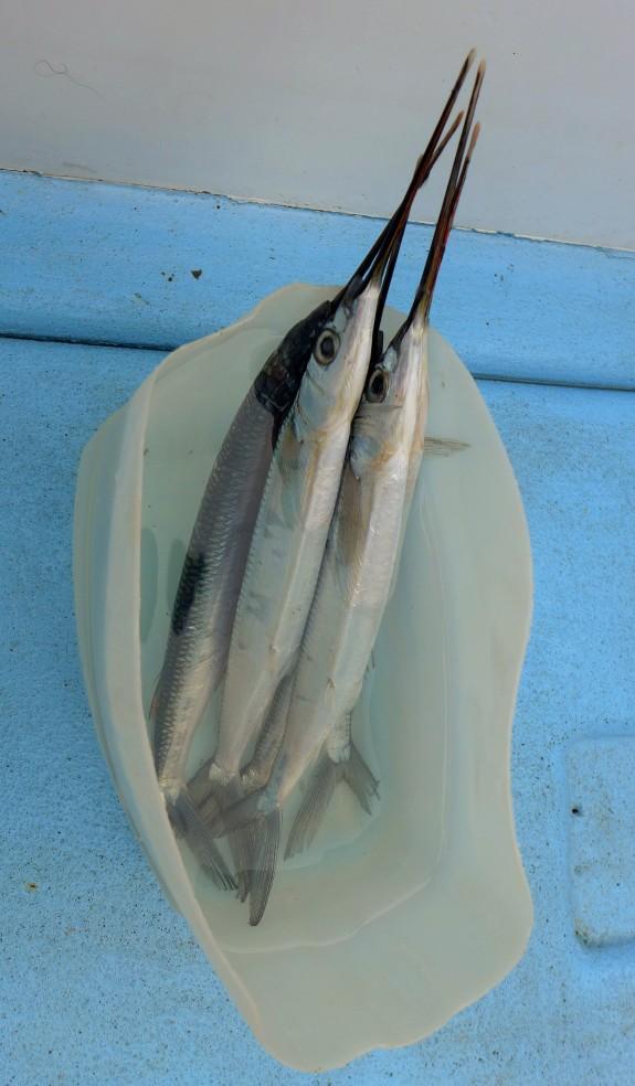 we used needle fish as bait.