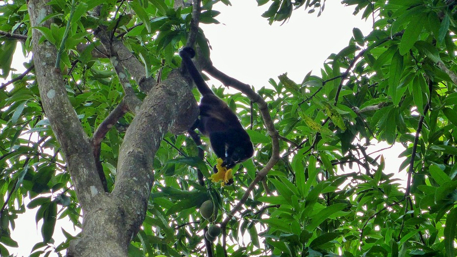 monkeys playing in the trees and eating mangos by the beach