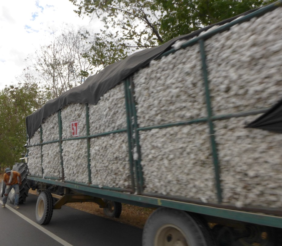 truck load of fresh picked cotton