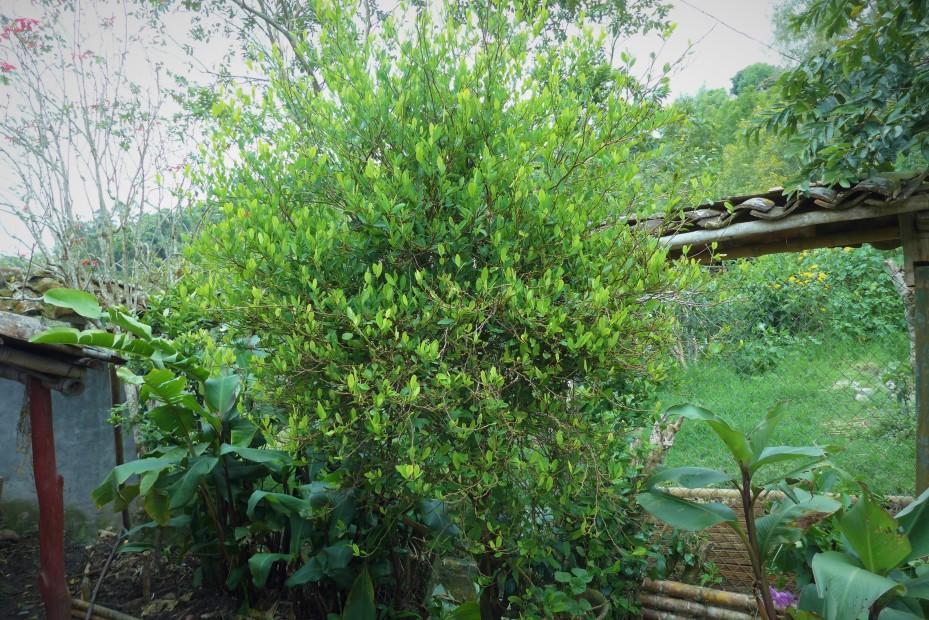 coca leaf tree