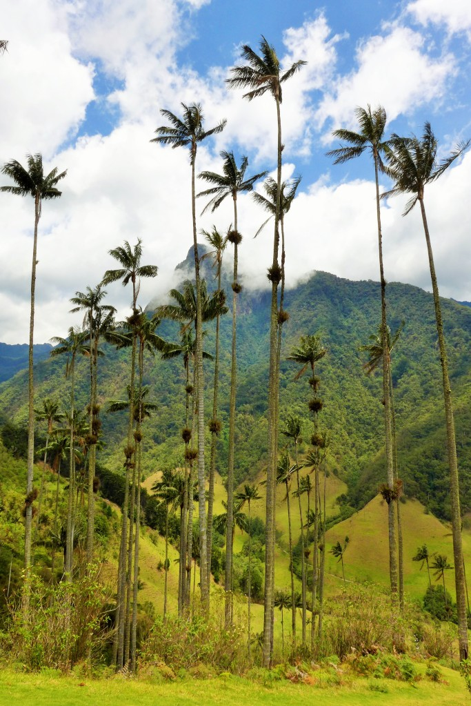 tallest palm wax trees on earth