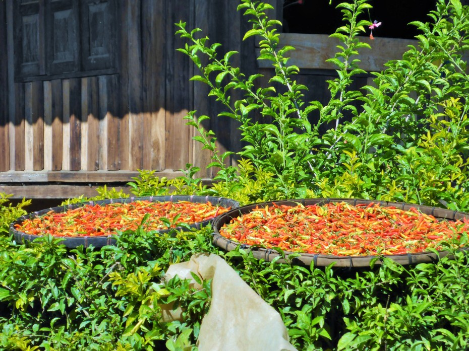 chilli peppers drying in the village